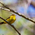 palm warbler in the pine barrens of new jersey