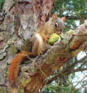 Red-Squirrel2-Vilseskogen-flickr-CComms